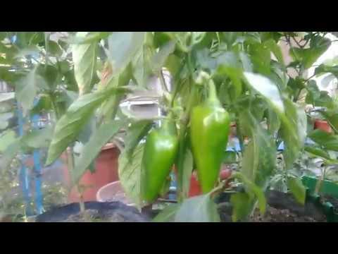 Container Gardening : Paano Magtanim ng Bell Pepper (Atsal) sa Container