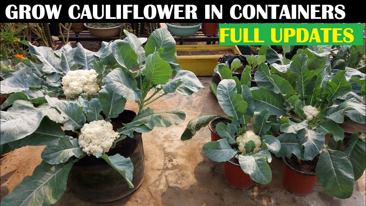 How To Grow Cauliflower At Home (WITH FULL UPDATES)