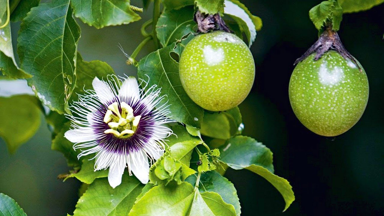 How To Grow, Care, And Harvesting Passionfruit - Gardening Tips