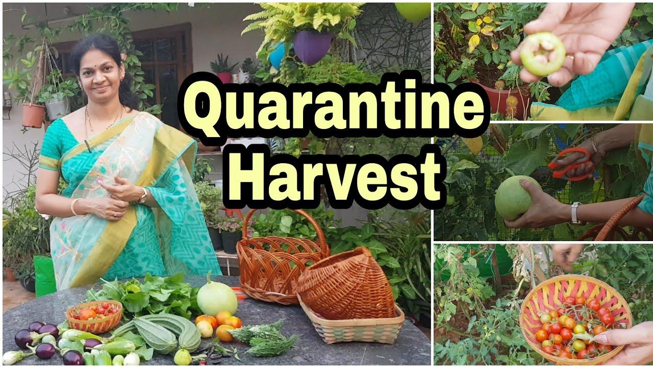 బయటికి వెళ్లాల్సిన పనిలేదు,మన కూరగాయల చాలు/Self sufficient vegetable harvest #gardening   #stayhome