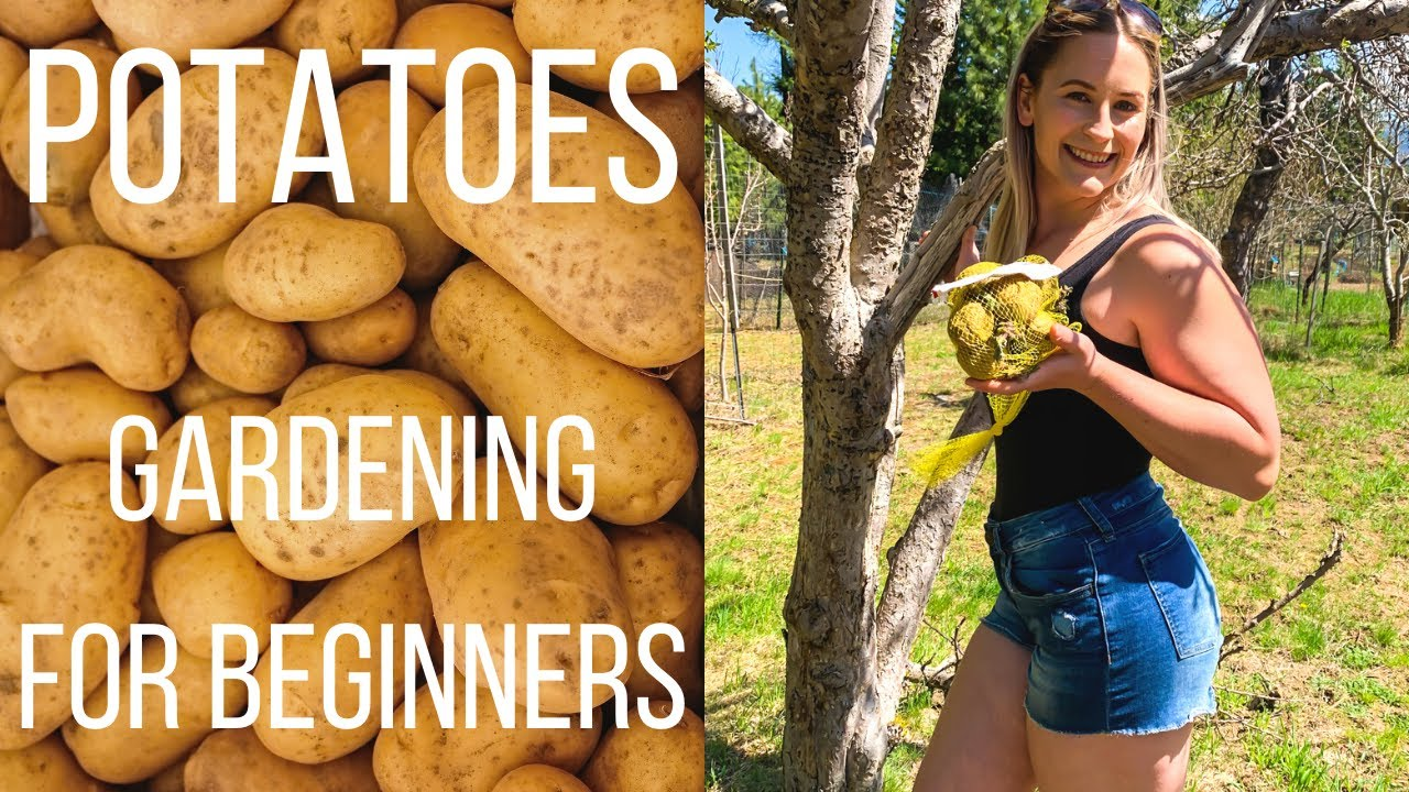 How To Grow Potatoes | Gardening For Beginners | Grow Potatoes In A Bucket