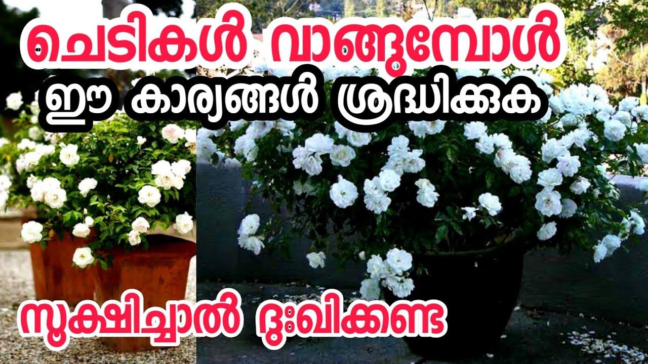 ചെടികൾ വാങ്ങുമ്പോൾ ശ്രദ്ധിക്കേണ്ട 8 കാര്യങ്ങൾ|chedikal malayalam|gardening malayalam flowering plant