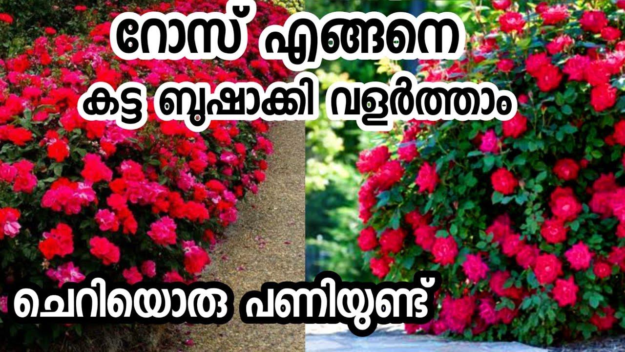 റോസിനെ എങ്ങനെ ബുഷാക്കി നിർത്താം|rose care in malayalam|rose paripaalanam|malayalam gardening|happy
