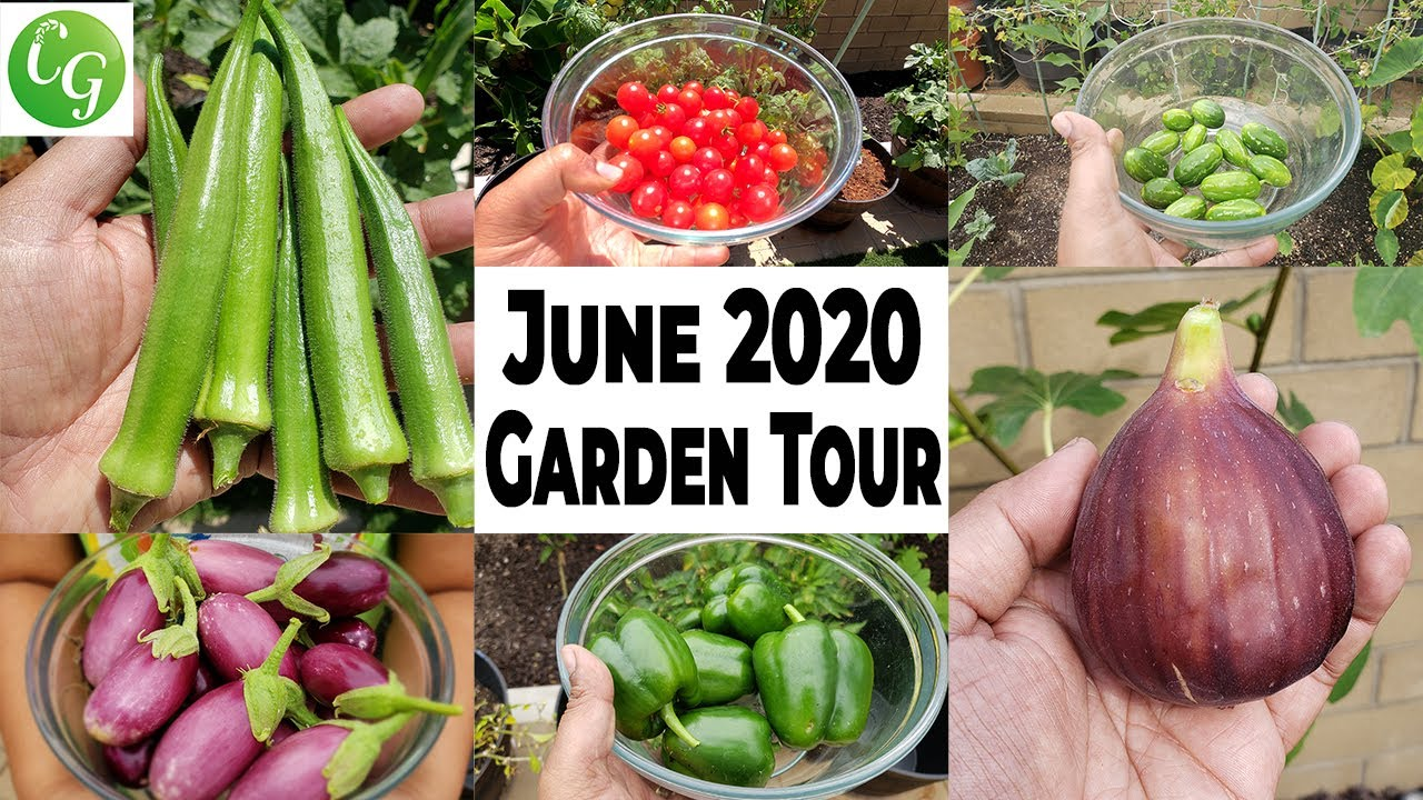 California Gardening June 2020 Garden Tour - Gardening Tips, Harvests, & more!