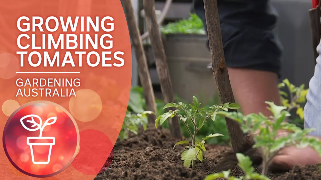 Growing Climbing Tomatoes | Growing Fruit and Vegies | Gardening Australia