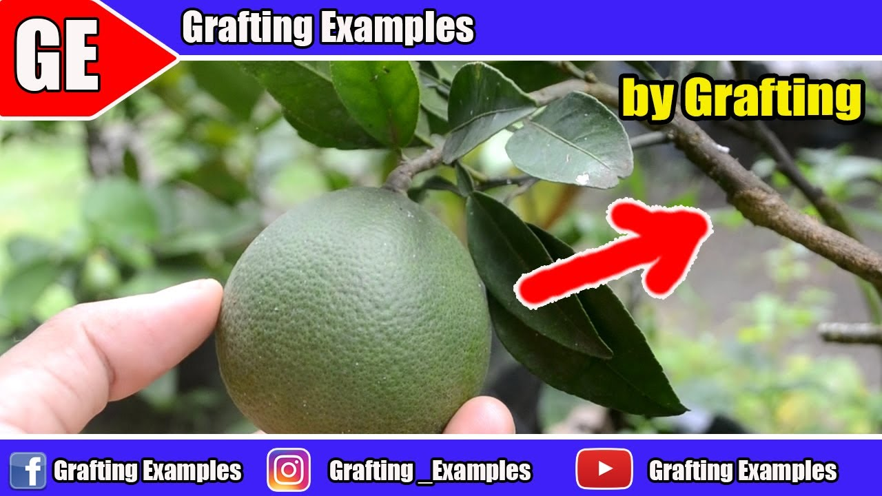 5 Gardening Hacks On Citrus Tree That Will Blow Your Mind