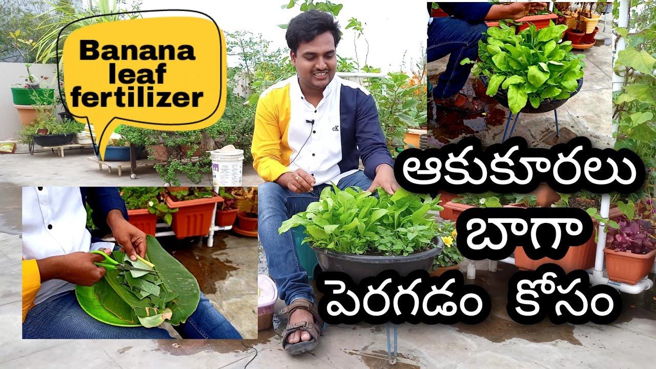 ఆకుకూరలకోసం అరిటాకు ద్రావణం How to make Banana leaf fertilizer #OrgGardener #fertilizer #gardening