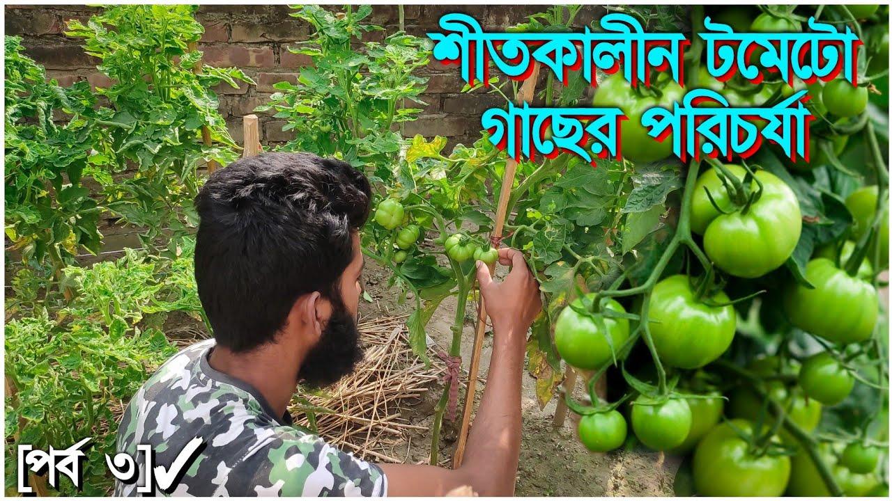 শীতকালীন টমেটো গাছের পরিচর্যা | টমেটো চাষ পদ্ধতি | Tomato Farming /Gardening