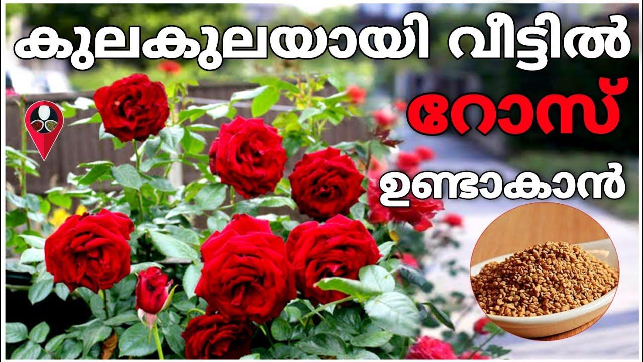 അടുക്കളയിലെ ഇതൊന്നു മതി റോസ് നിറഞ്ഞ് പൂക്കും | Rose gardening malayalam | Rose flower poovu undakan