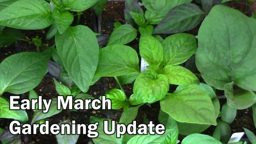 Early March Gardening Update - Seedlings and What's Been Going On