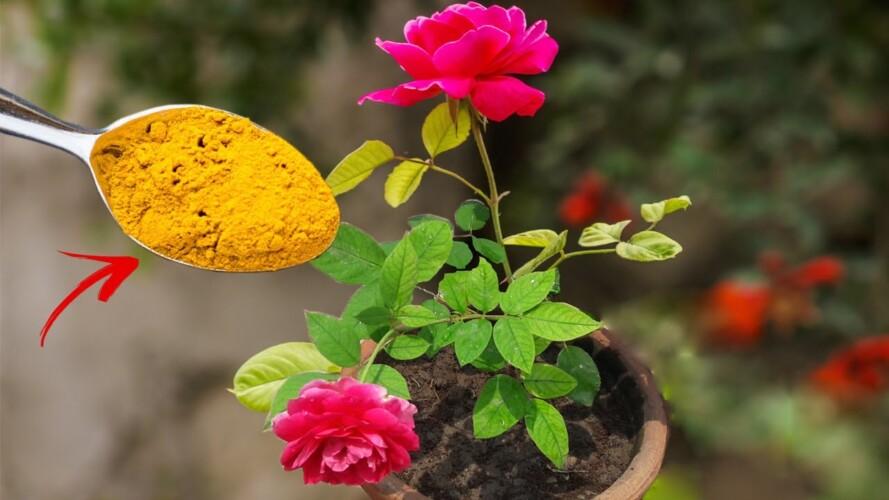 TOP 5 ROSE GARDENING SECRET TIPS  |  Best Fertilizer For Rose Plant & Care Tips