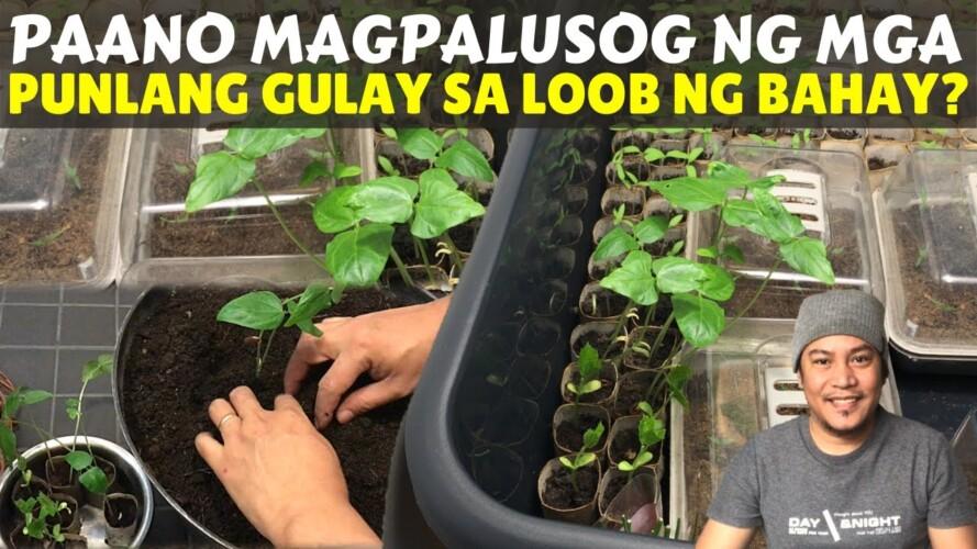 PAANO MAGPALUSOG NG MGA PUNLANG GULAY SA LOOB NG BAHAY? Garden. Gardening. Magtanim