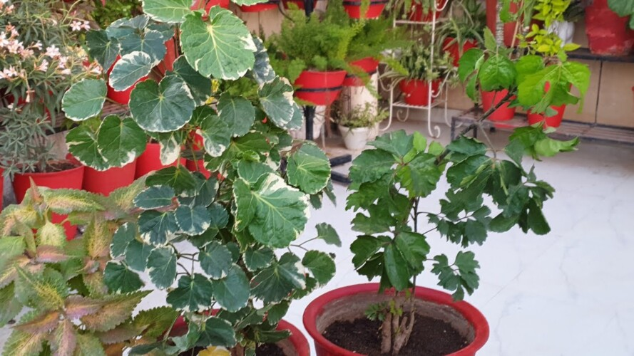 How to Grow and Care Aralia Plant in Summer || Fun Gardening