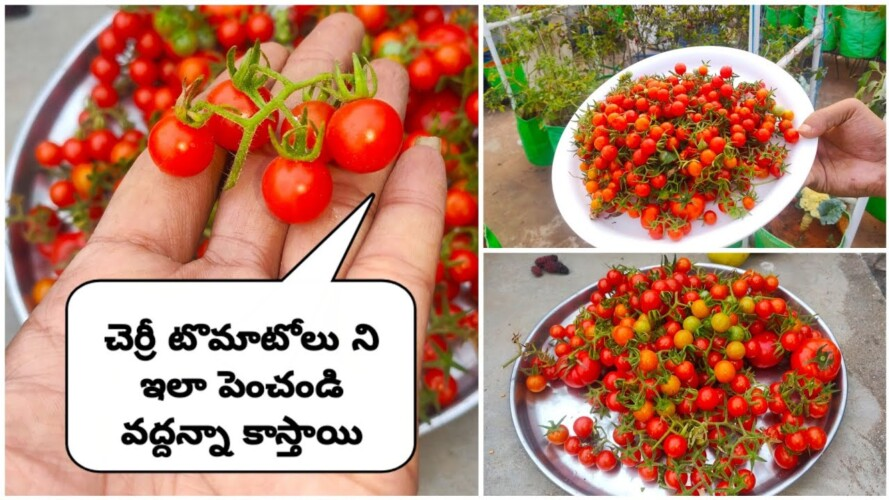 How to grow cherry tomatoes in telugu #shorts#cherrytomatoes#Gardening#organicfarming#Tomatoes
