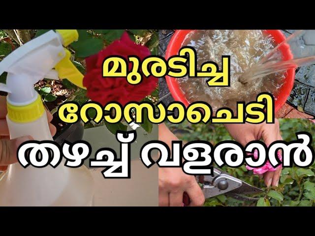 Top 4 Rose Gardening secret Tips l Best fertilizer for Rose Plants l Rose Plant care