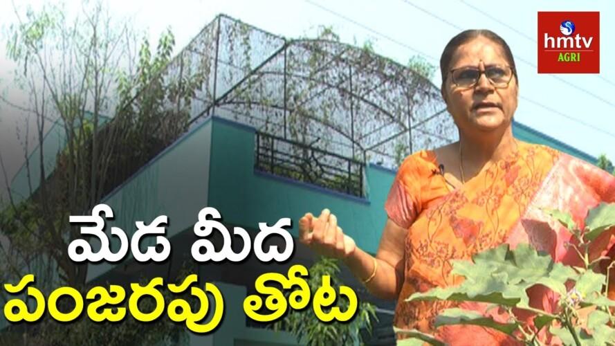మేడ మీద పంజరపు తోట | Terrace Gardening By Padmaja | hmtv Agri