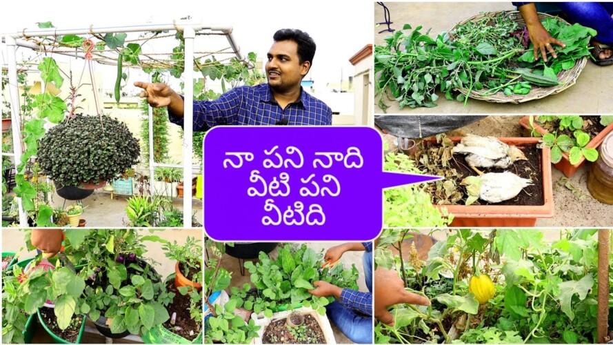 సరదాగా చేసిన హార్వెస్ట్, కోడి పిల్లల అల్లరి #harvest #gardening
