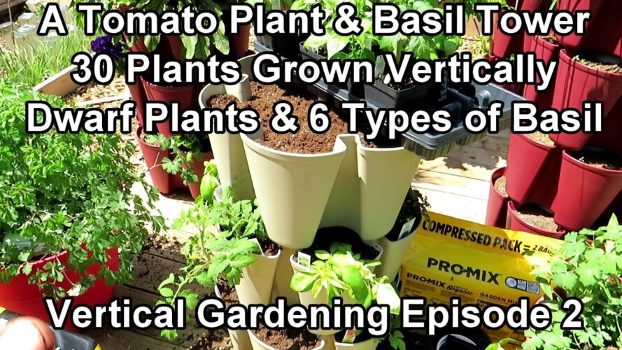 Vertical Gardening: Building a Tower of Dwarf/Compact Tomatoes & 6 Types of Basil - 30  Plants