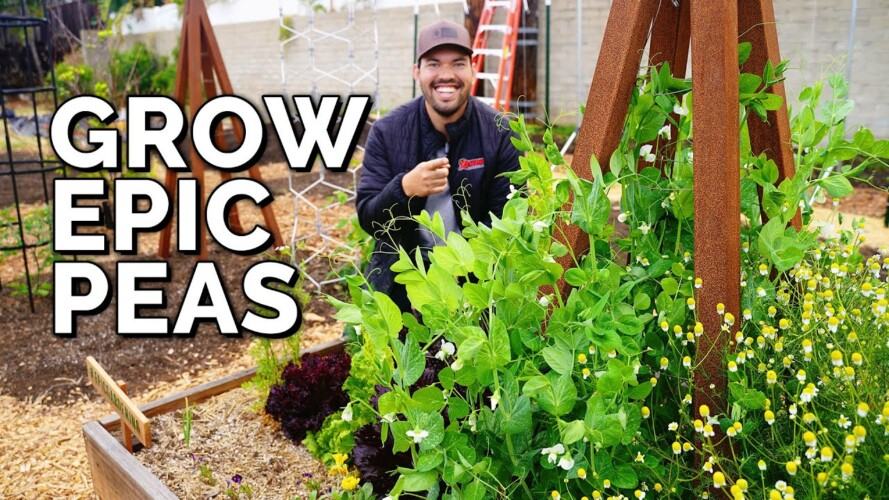 How to Grow Peas From Seed to Harvest