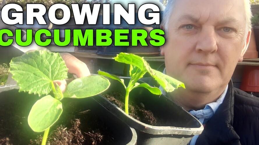 Growing Cucumbers from Seed | Beginners Guide |  Gardening Online