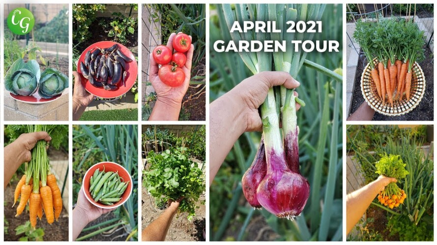 California Gardening April 2021 Garden Tour - Harvests, Gardening Tips & More!