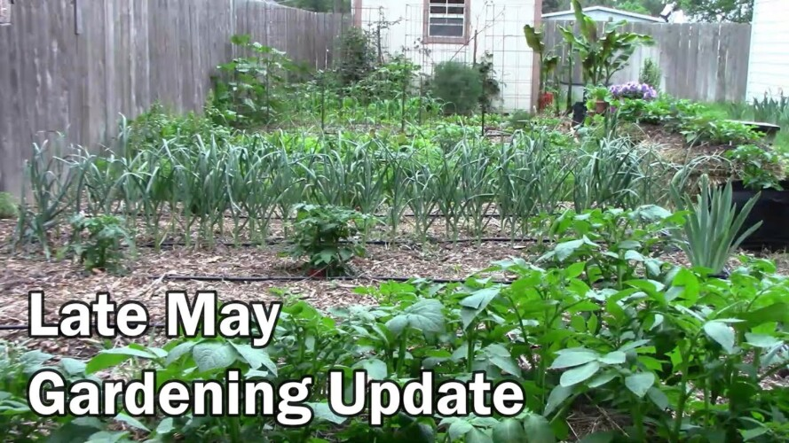 Late May Gardening Update - Already Setting On Peppers and More