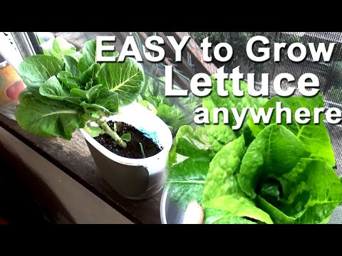 GUIDE How to Grow LETTUCE Harvest TONS in Container Gardening, Flower Pot Plants, Raised Bed, Window