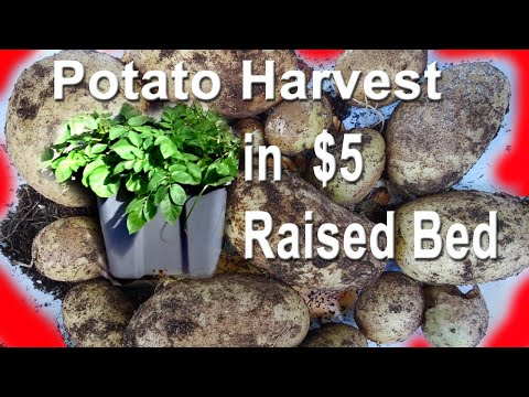 Potato Harvest in CHEAP Raised Bed Container Gardening 🍅Growing Food TIPS Compost in Place Free Soil