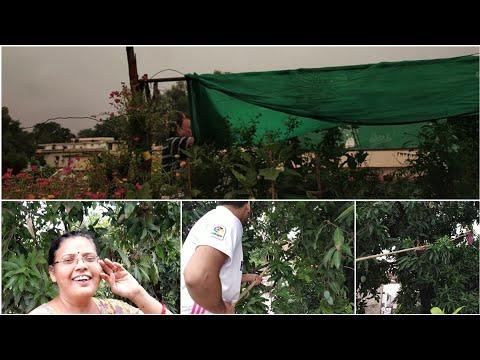 Sunday gardening Vlog  Green net हटते ही ये खुशी से झूम उठे मिल कर तोड़े आम