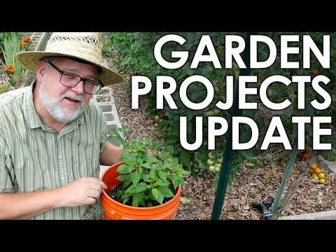 Gardening Projects Update and Single Seed Challenge Report    Black Gumbo