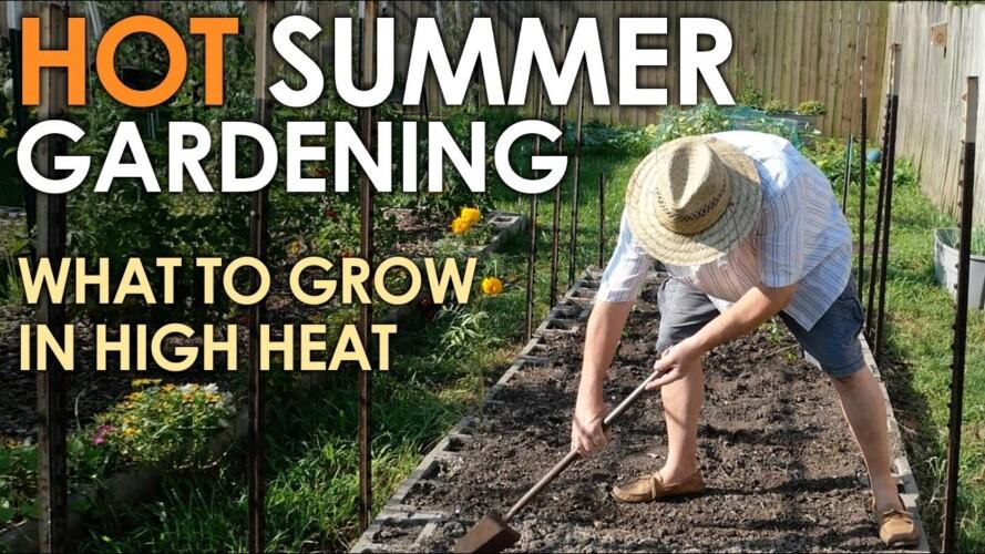 HOT SUMMER Vegetable Gardening    Black Gumbo