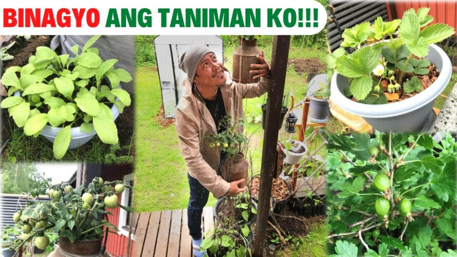 BINAGYO ANG TANIMAN KO!!! Sana ay maka-survive lahat. Garden. Gardening. Gulayan.