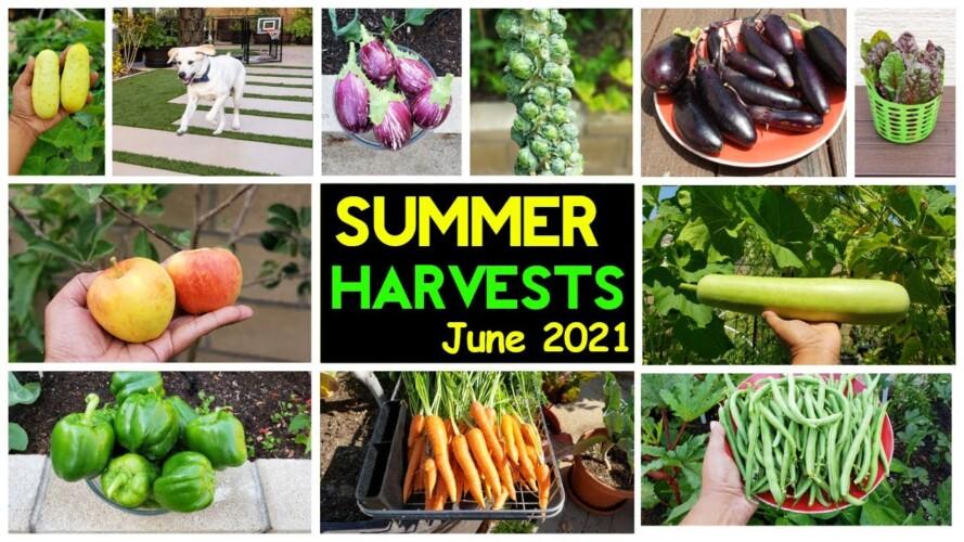 Incredible Summer Harvests. Backyard Homestead, Gardening Tips & Tricks!