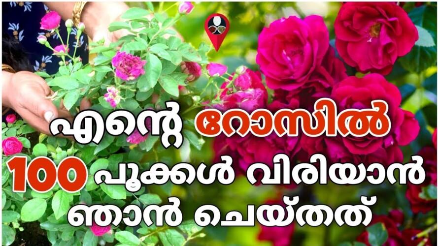 കുലകുത്തി പൂക്കൾ നിറയാൻ ഉപ്പ് കൊണ്ടൊരു സൂത്രം   Rose gardening malayalam   Rose flower poovu undakan