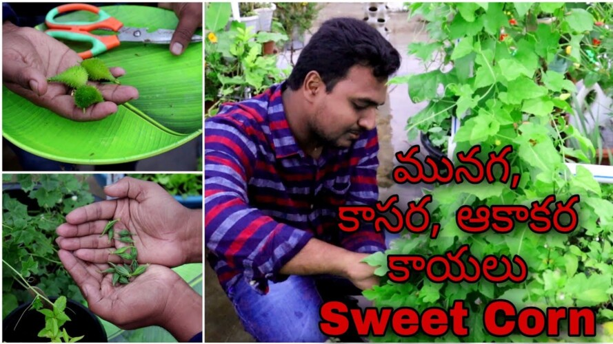 Satisfying Harvest కొన్ని rare వెరైటీ కాసర, మునగ, ఆకాకర కాయలు, స్వీట్ కార్న్ #gardening