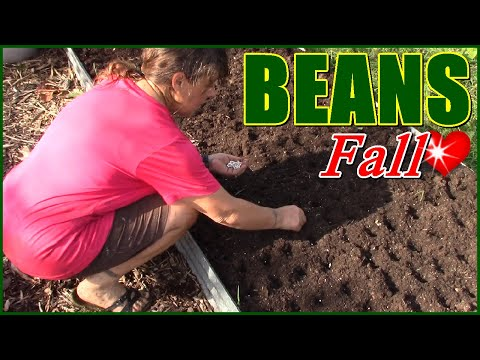 Planting LATE Fall Beans In The Raised Bed Garden ~ Fall Gardening