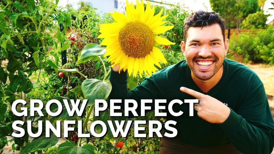 How to Grow Sunflowers Successfully At Home 🌻
