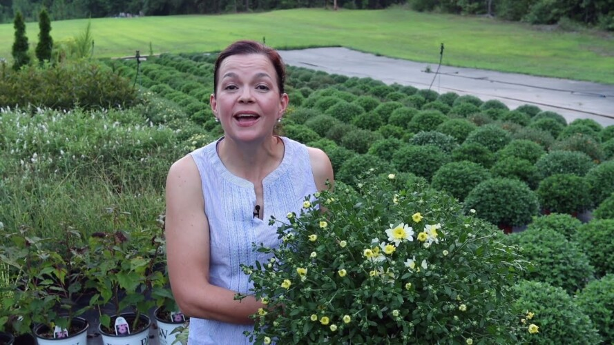 The Mums Have Color! And Perennials 🌿| Gardening with Creekside