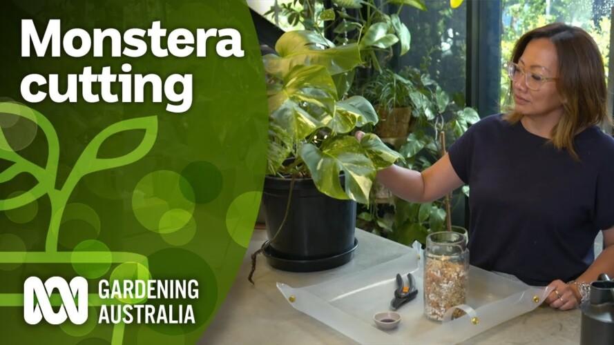How to propagate Monstera | Indoor plants | Gardening Australia