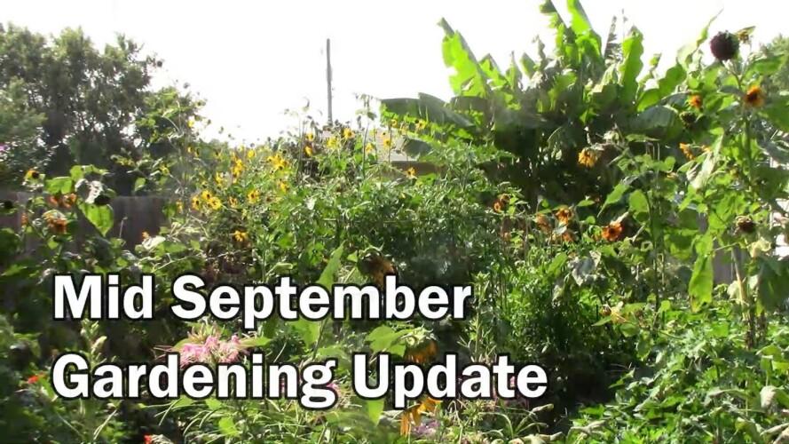 Mid September Gardening Update - Harvests, Hummingbirds and More