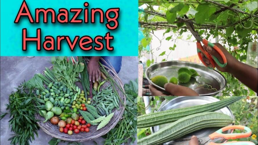 Organic Terrace garden Harvest, #kitchen gardening, మిద్దె మీద అద్భుతమైన పంట