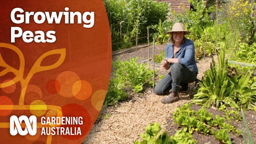 How to propagate peas and prevent pests | Gardening 101 | Gardening Australia