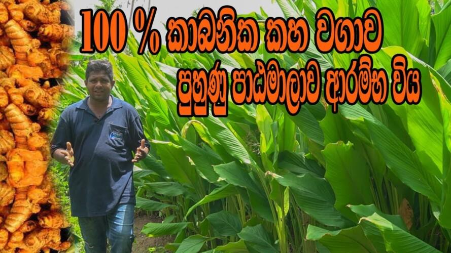 කහ වගාව 100% කාබනිකව , Home gardening, Organic gardening, Organic ,ගෙවතු වගාව