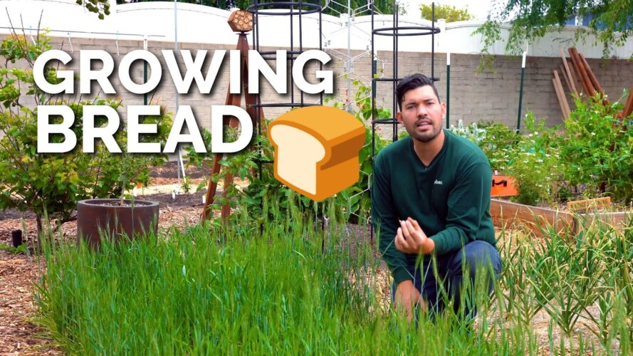 How to Grow Wheat   Seed to Harvest