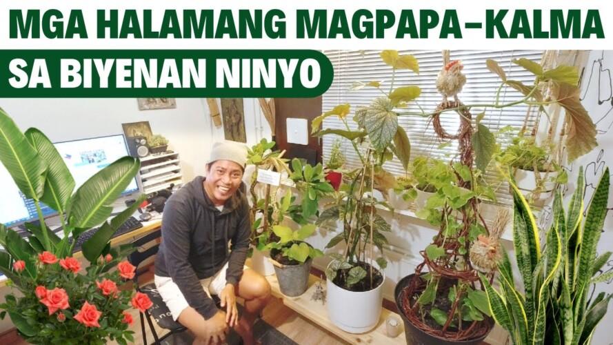 MGA HALAMANG PAMPA-KALMA SA INYONG MGA BIYENAN!! Garden. Gardening. Indoor Garden. Indoor Gardening.
