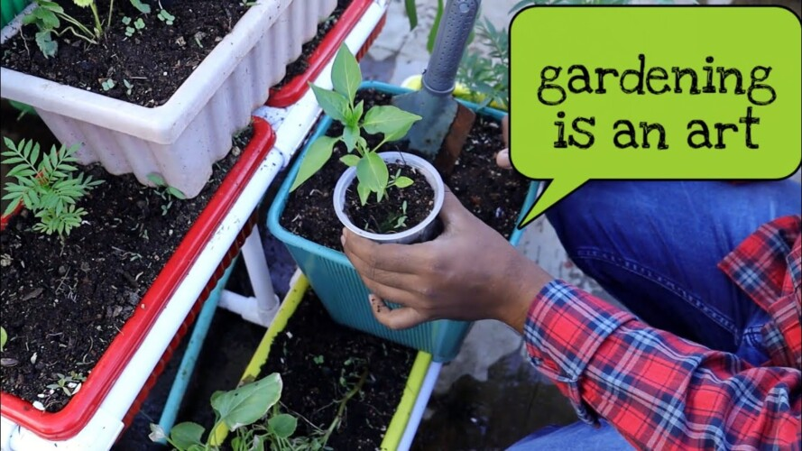 How to Transplant plants, నారు మొక్కలు ఇలా నాటుతున్నా #gardening.