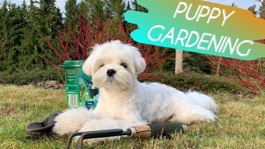 DO NOT TAKE A MALTESE DOG GARDENING