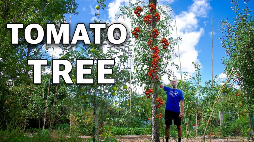And They Said I was CRAZY for Growing a Tomato Tree...